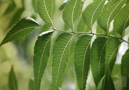 Wonderful benefits of Neem you didn't know about