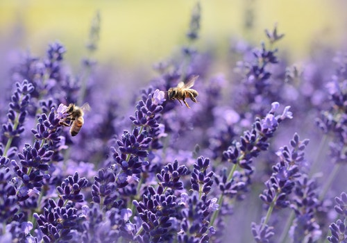 Bloom Naturally with The Love Of Lavender!